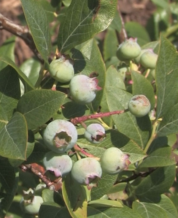 How to Care for Blueberries