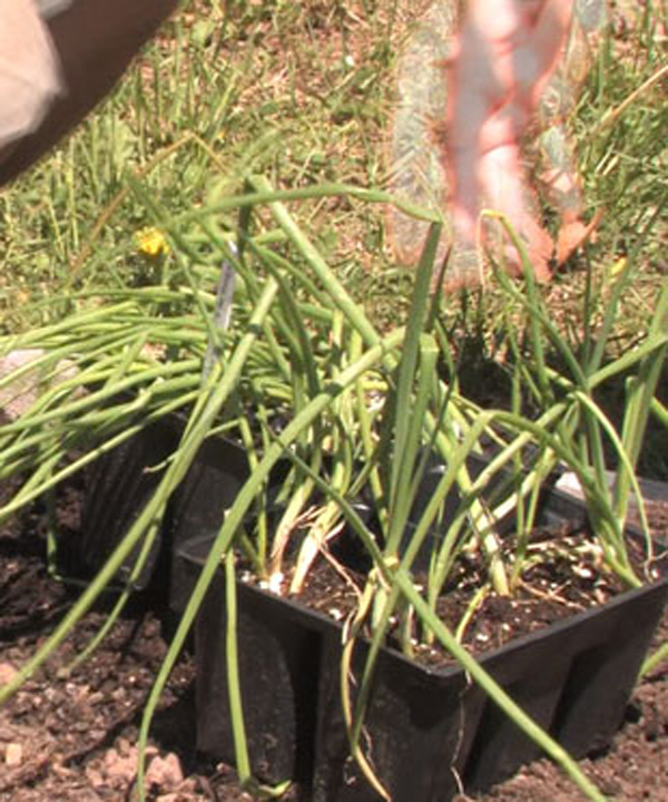 How to Care for Onion Plants