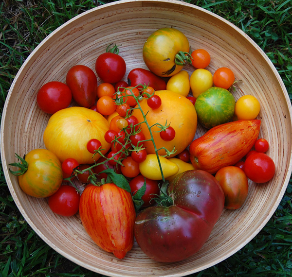 How to Harvest Tomatoes